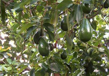 Avocado2_B