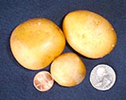 Alby's Gold Potato
