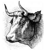Cattle head