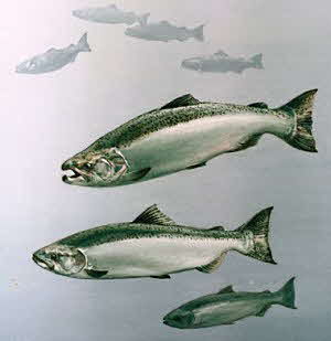 Alaska King Salmon (Chinook)