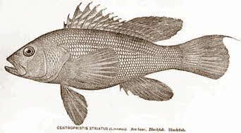 Sea Bass (Jewfish)