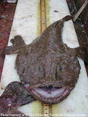 Black Monkfish