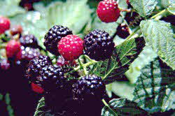 Blackberries on plant