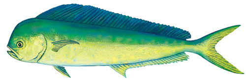 Dolphinfish drawing - photo#17
