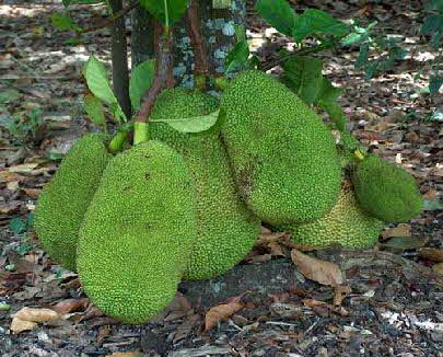 Large Jackfruit on growing on tree trunk