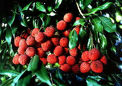 Litchi Nuts on tree