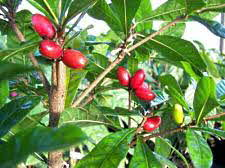 Miracle Fruit on tree