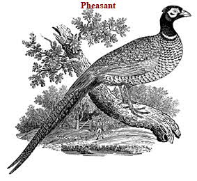 Pheasant (Game Bird) Facts and Trivia