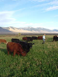 Steers eating grass