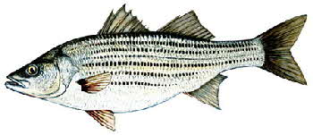 striped-bass