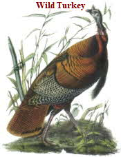 Wild Turkey by Audubon